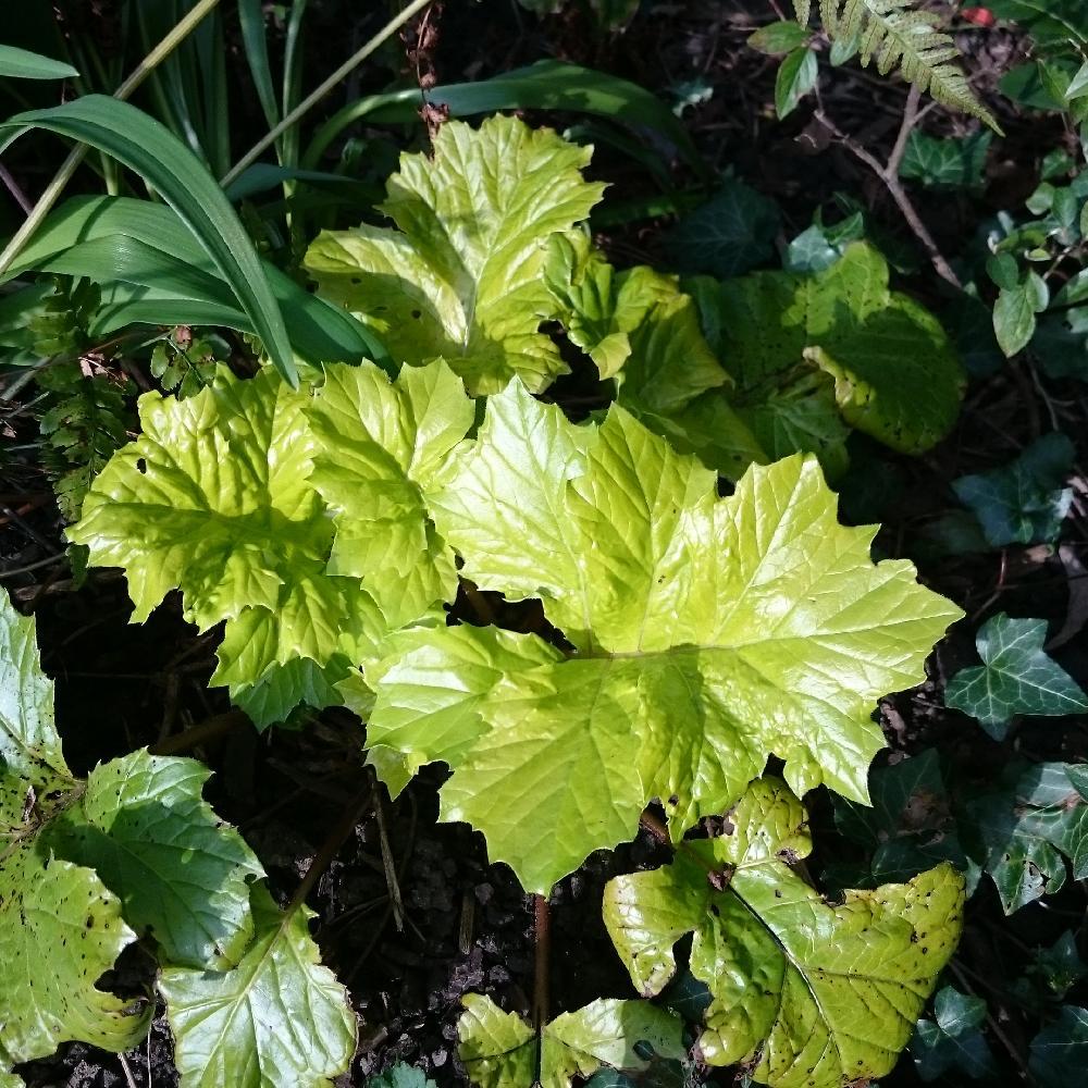 Plantes vivaces acanthus mollis 39 hollard 39 s gold 39 acanthe for Plantes a fleurs vivaces