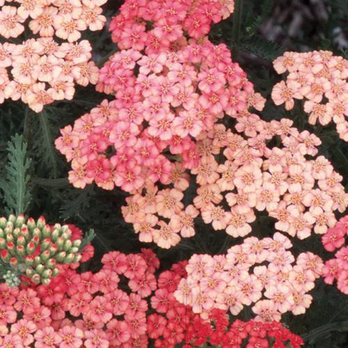 Plantes vivaces achillea 39 apricot delight 39 achill e en vente p pini re lepage - Fleurs vivaces longue floraison ...