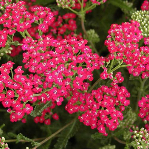 plantes vivaces achillea millefolium 39 red beauty 39 achill e millefeuille en vente p pini re. Black Bedroom Furniture Sets. Home Design Ideas