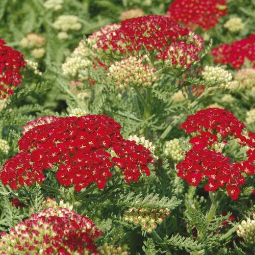 Plantes vivaces achillea 39 pomegranate 39 achill e en vente for Vente plantes vivaces