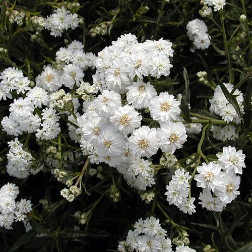 plantes vivaces achillea ptarmica 39 boule de neige 39 achill e en vente p pini re lepage. Black Bedroom Furniture Sets. Home Design Ideas