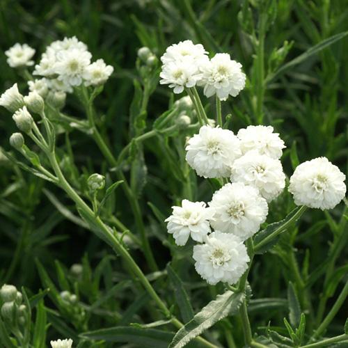 Plantes vivaces achillea ptarmica 39 boule de neige - Boule de neige plante ...