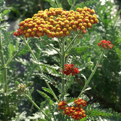 Plantes vivaces achillea 39 safran 39 achill e en vente for Vente plantes vivaces