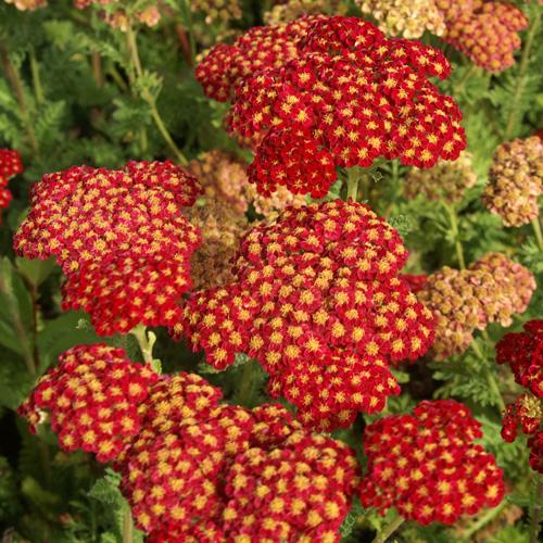 ACHILLEA 'Strawberry Seduction'