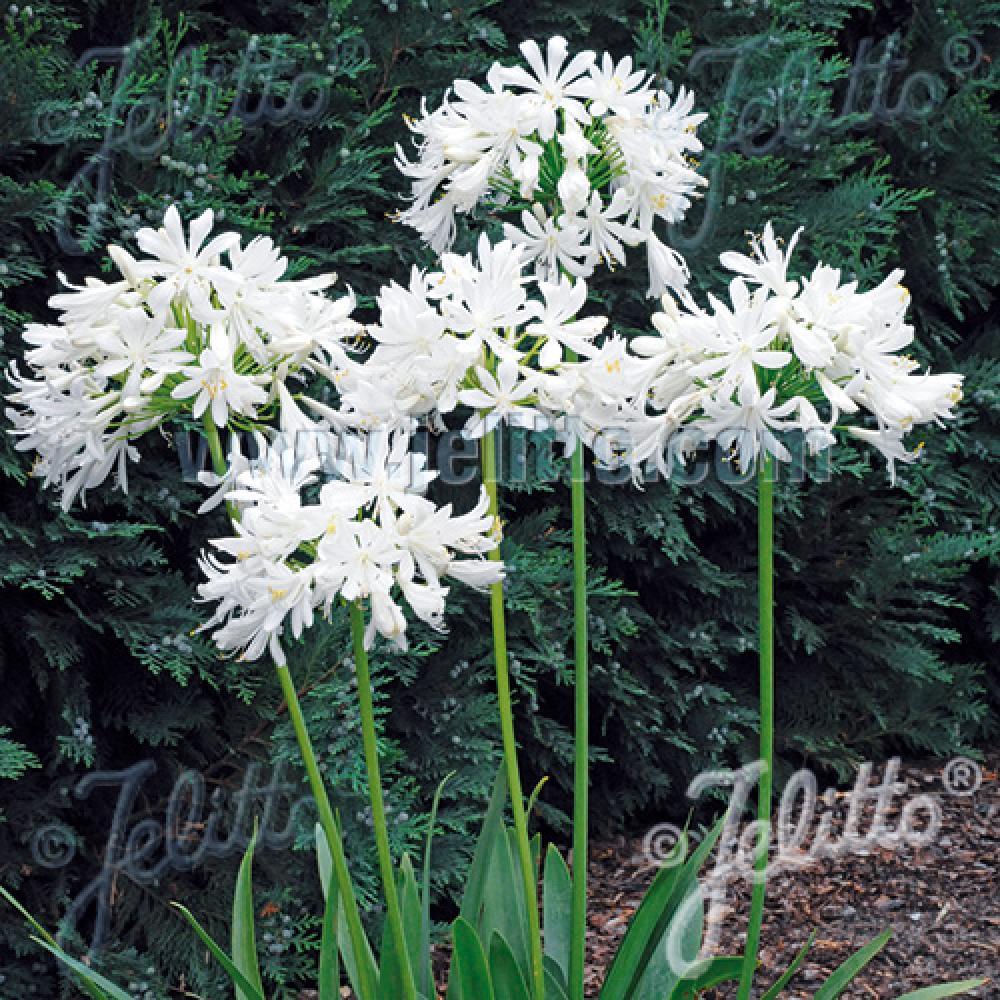 Plantes vivaces agapanthus 39 getty white 39 agapanthe en for Vente plantes vivaces