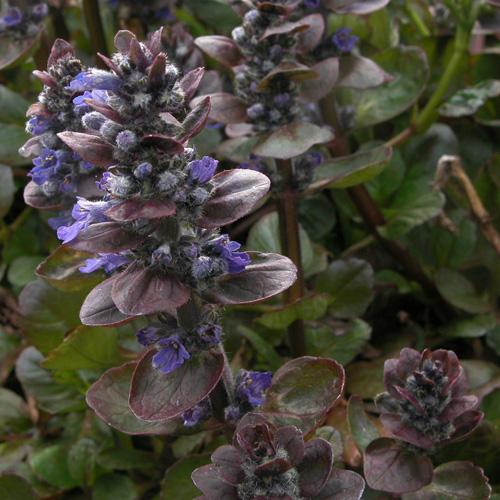 Plantes vivaces ajuga reptans 39 catlin 39 s giant 39 bugle for Plante vivace rampante
