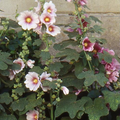 Plantes vivaces alcea ficifolia rose tr mi re en vente - Rose tremiere en pot ...