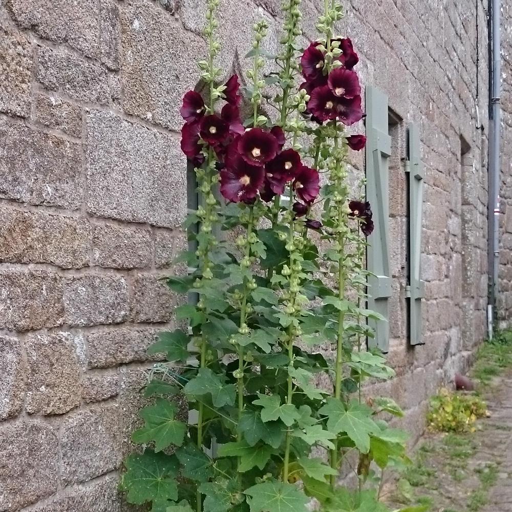 plantes vivaces alcea rosea 39 nigra 39 rose tr mi re en. Black Bedroom Furniture Sets. Home Design Ideas