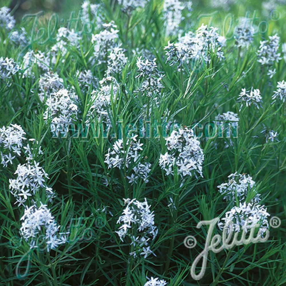 Plantes vivaces amsonia hubrichtii amsonie en vente for Vente plantes vivaces