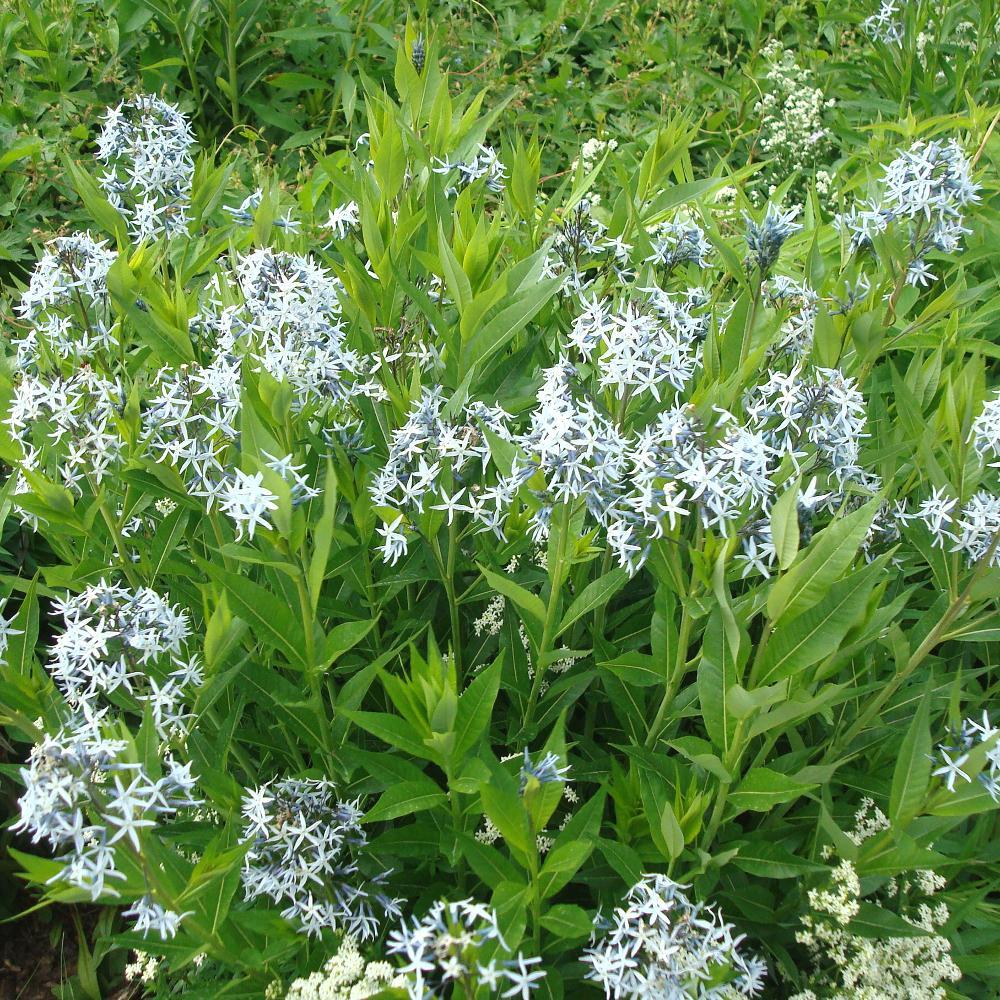 Plantes vivaces amsonia tabernaemontana amsonie en vente for Vente plante