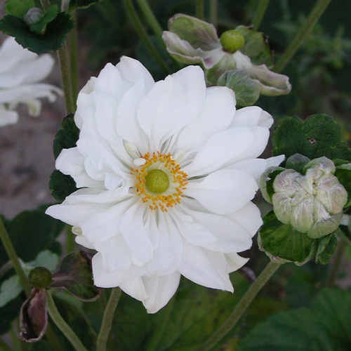 Plantes vivaces anemone hybrida 39 whirlwind 39 an mone du - Anemone du japon blanche ...