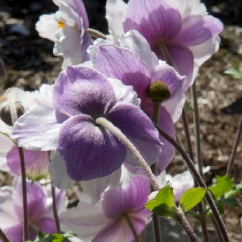Plantes vivaces anemone 39 ruffled swan 39 an mone du - Anemone du japon blanche ...