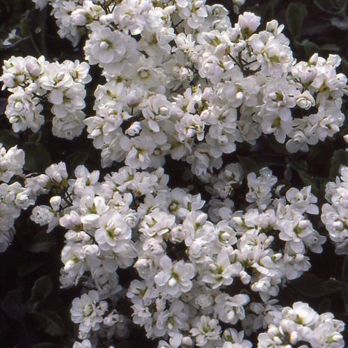 Plantes vivaces arabis caucasica 39 plena 39 arabette en for Vivace floraison hivernale