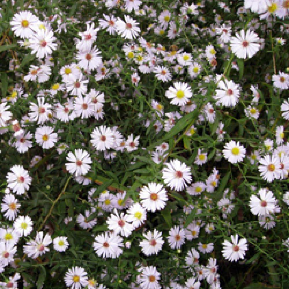 Plantes vivaces aster ericoides aster d 39 automne en vente for Vente plantes vivaces