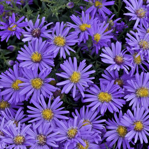 Plantes vivaces aster 39 fidelio 39 dumosus group aster d 39 automne - Fleurs vivaces d automne ...