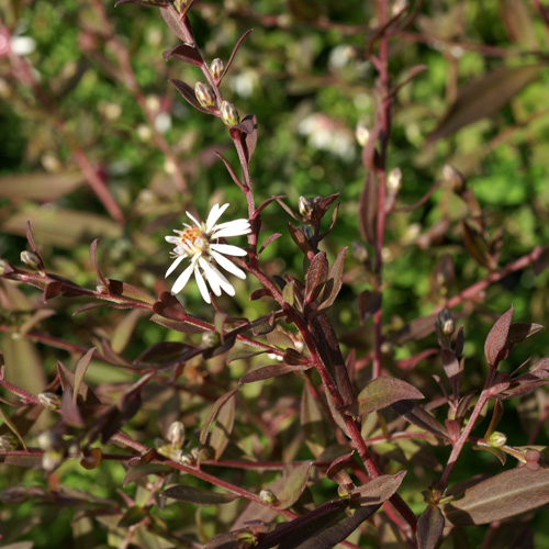 plantes vivaces aster lateriflorus lady in black aster