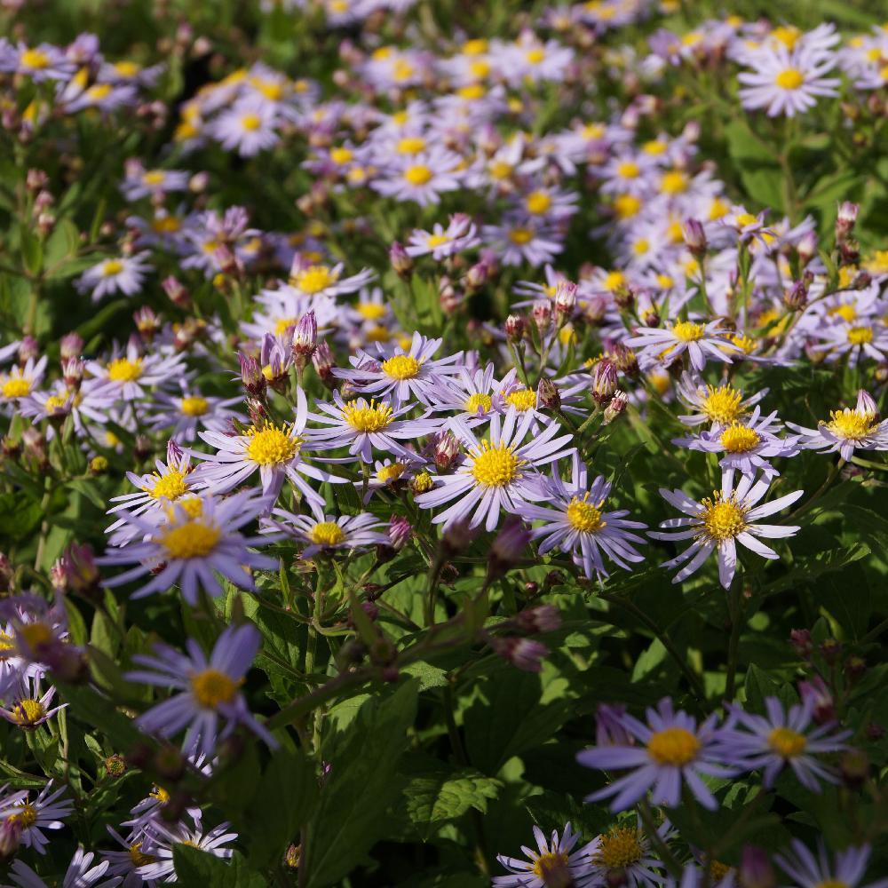 Plantes vivaces aster ageratoides 39 asran 39 aster d for Vente plantes vivaces