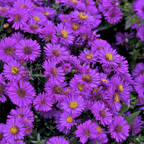 plantes vivaces aster 39 starlight 39 dumosus group aster d 39 automne aster nain d 39 automne en. Black Bedroom Furniture Sets. Home Design Ideas