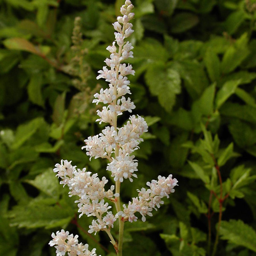 ASTILBE 'Mont Blanc' (Arendsii Group)