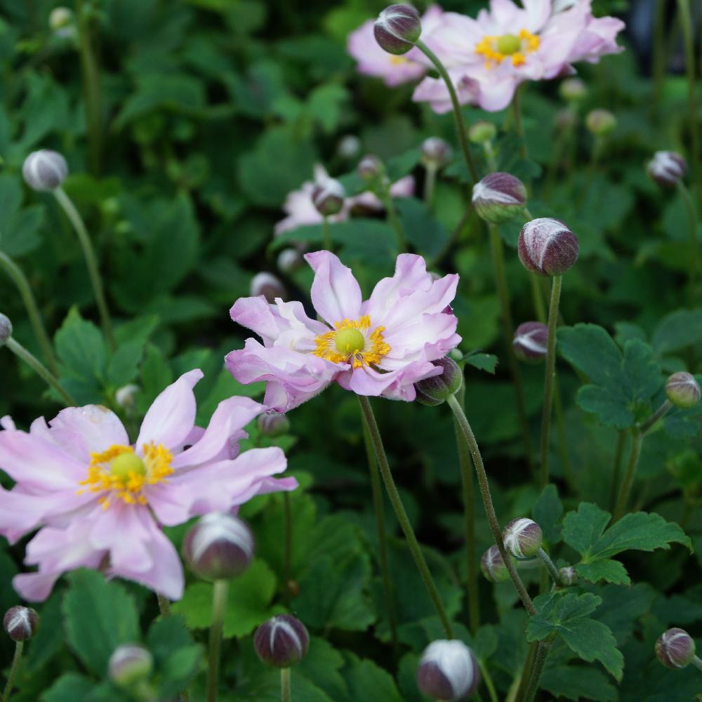 Plantes vivaces anemone hupehensis 39 pocahontas for Vente plantes vivaces