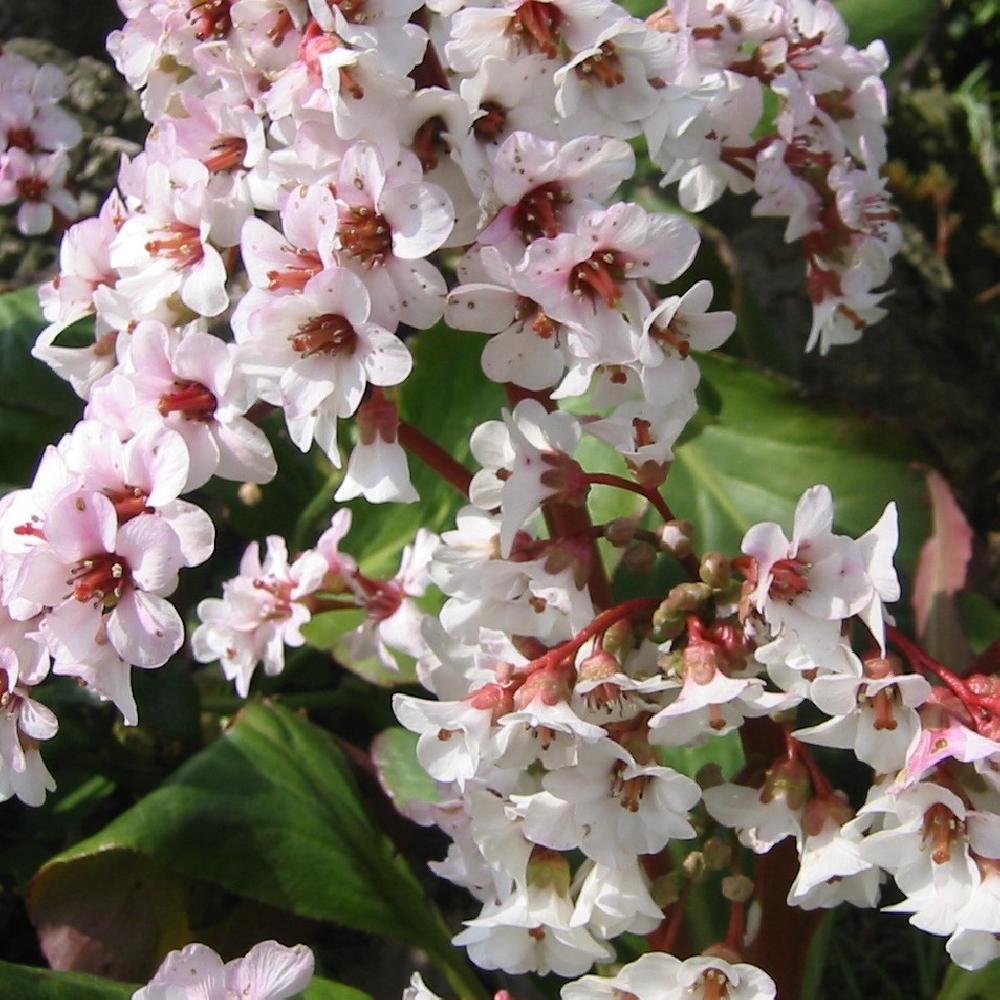 Plantes vivaces bergenia 39 silberlicht 39 plante des for Vente plantes vivaces