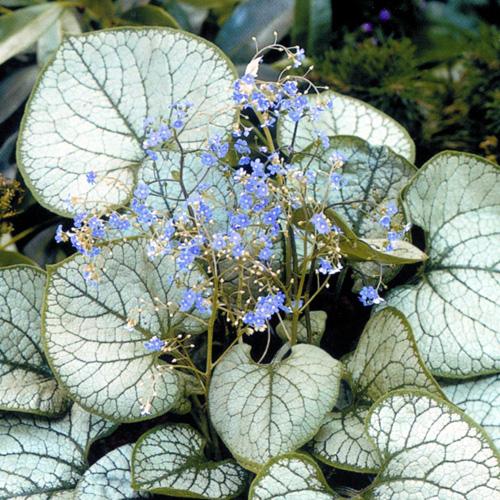 Plantes vivaces brunnera macrophylla 39 jack frost for Plante vivace verte