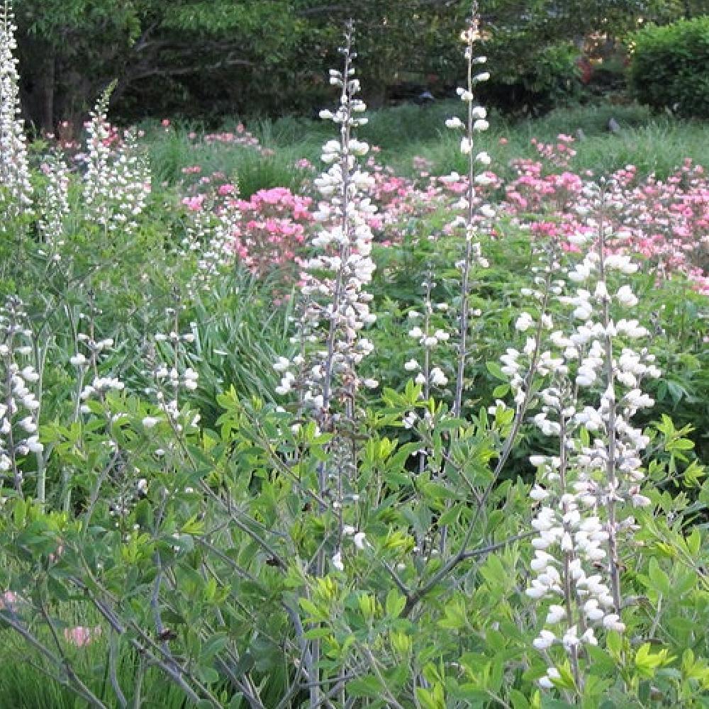 Plantes vivaces baptisia leucantha en vente p pini re for Vente plantes vivaces
