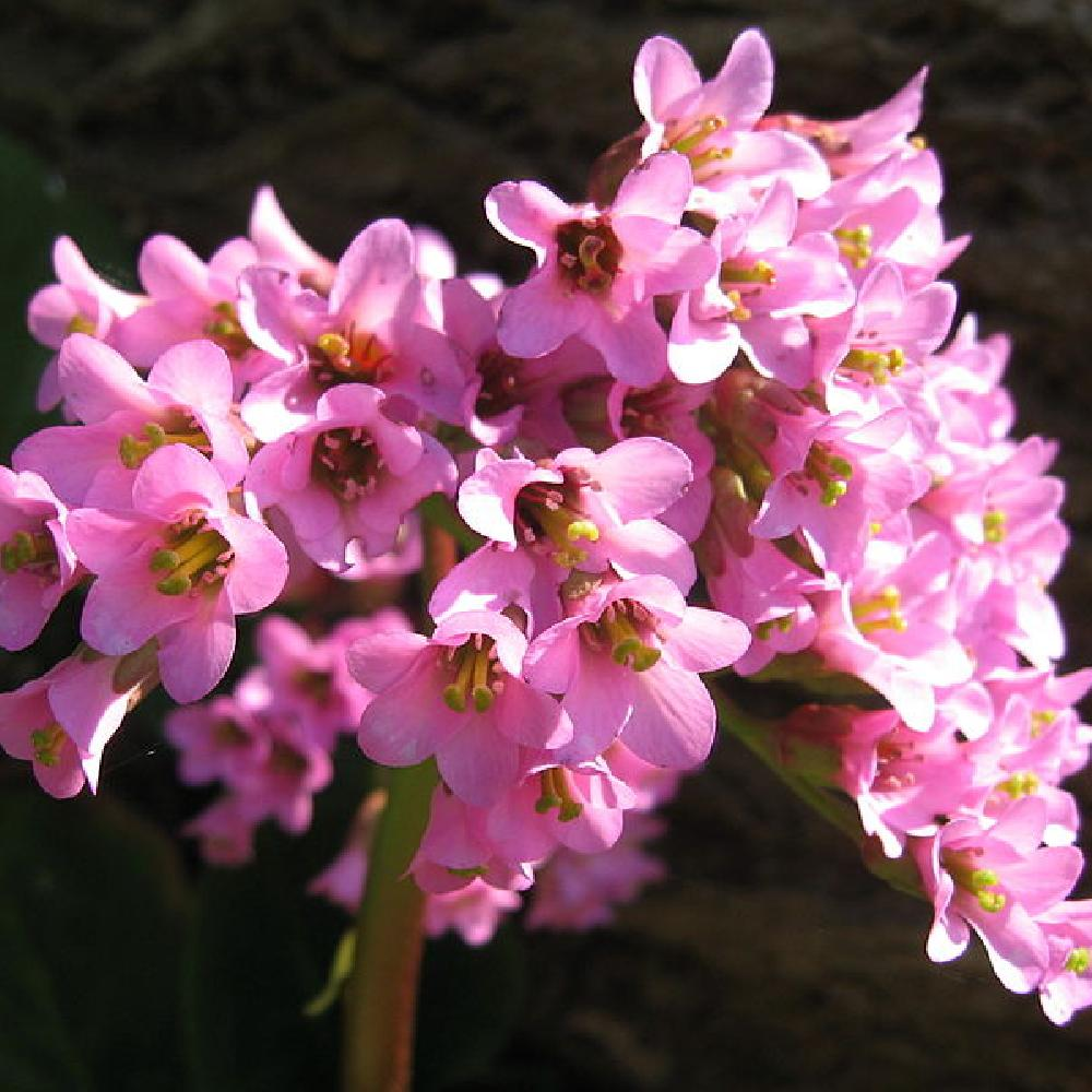 Plantes vivaces bergenia purpurascens plante des for Vente plantes vivaces