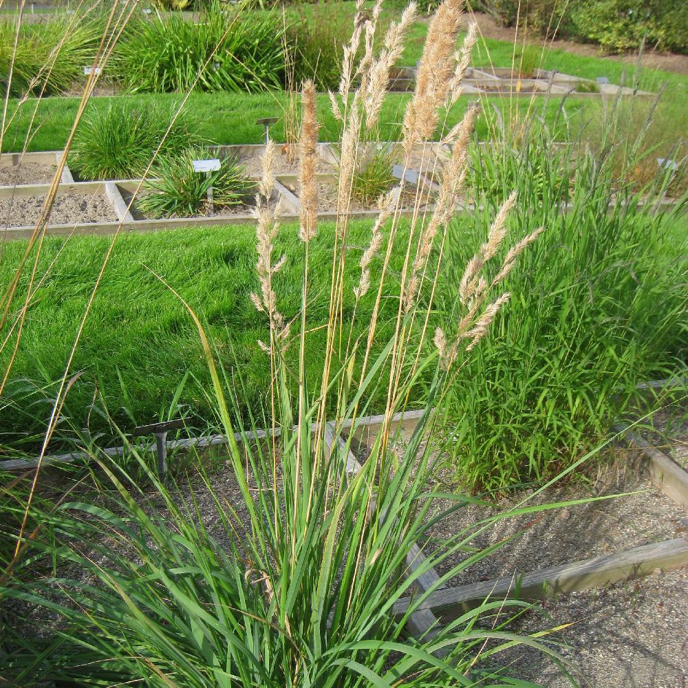 gramin es calamagrostis epigejos calamagrostide terrestre en vente p pini re lepage. Black Bedroom Furniture Sets. Home Design Ideas