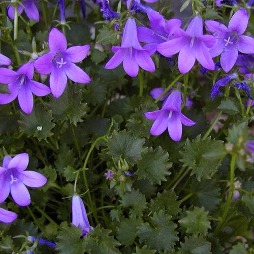 Plantes vivaces campanula portenschlagiana muralis campanule des murs en vente p pini re - Campanule des murs ...