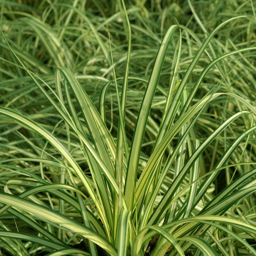CAREX oshimensis 'Evergold' (hachijoensis)