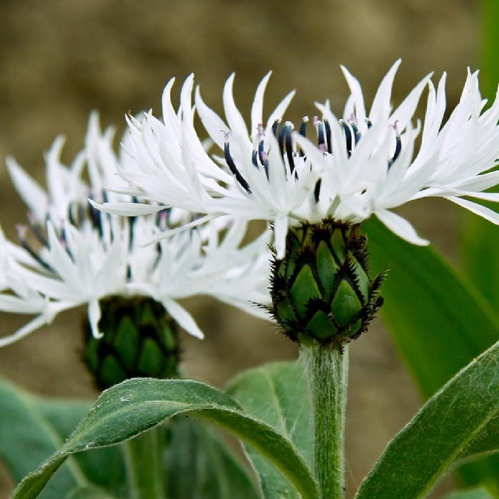 Plantes vivaces centaurea montana 39 alba 39 bleuet des for Vente plantes vivaces