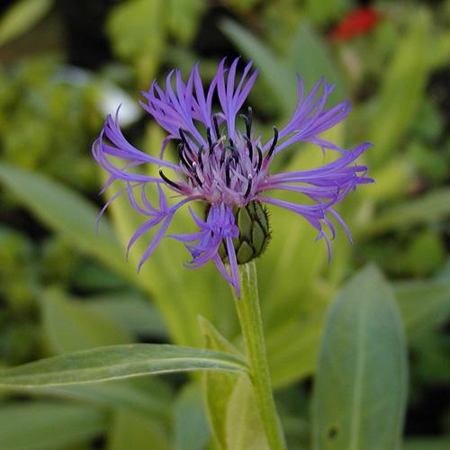 plantes vivaces centaurea montana bleuet des montagnes centaur e en vente p pini re lepage. Black Bedroom Furniture Sets. Home Design Ideas