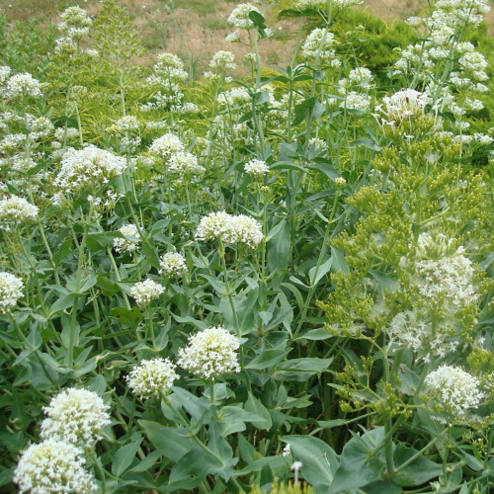 plantes vivaces centranthus ruber 39 albus 39 val riane des jardins en vente p pini re lepage. Black Bedroom Furniture Sets. Home Design Ideas