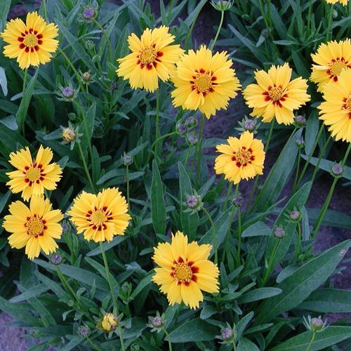 Plantes vivaces coreopsis grandiflora 39 domino 39 cor opsis for Plante vivace verte