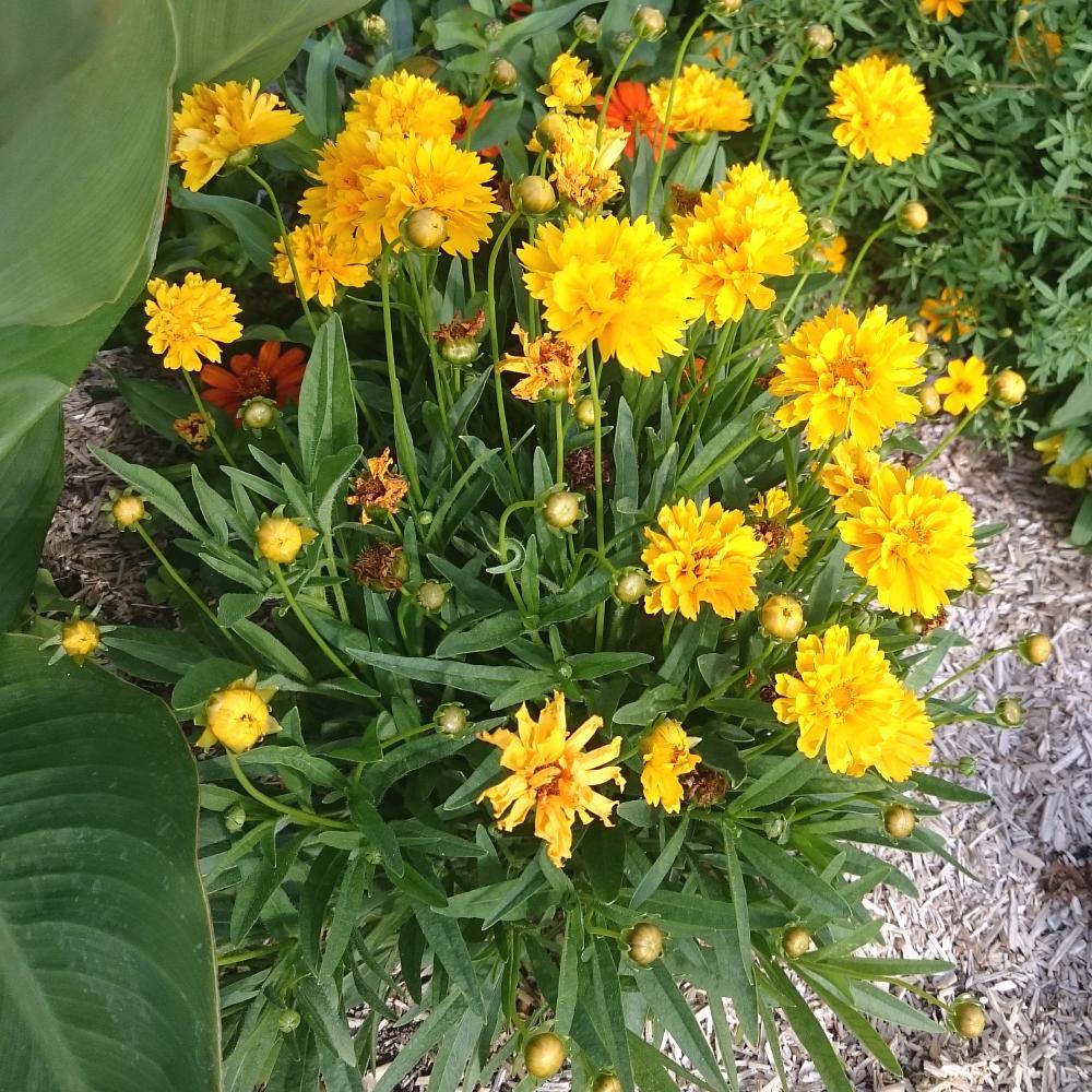 plantes vivaces coreopsis grandiflora 39 sunray 39 cor opsis grandes fleurs en vente p pini re. Black Bedroom Furniture Sets. Home Design Ideas