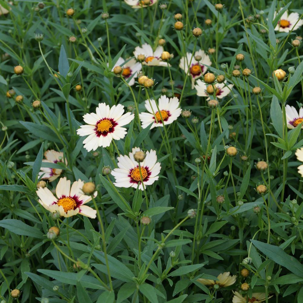 Plantes vivaces coreopsis 39 redshift 39 cor opsis en vente for Vente plantes vivaces