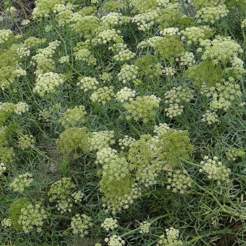 Plantes vivaces crithmum maritimum criste marine perce for Vente plantes vivaces