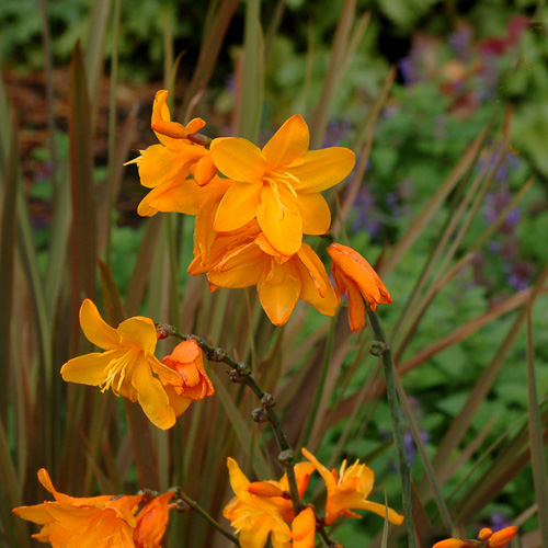 CROCOSMIA 'Twilight Fairy Gold'