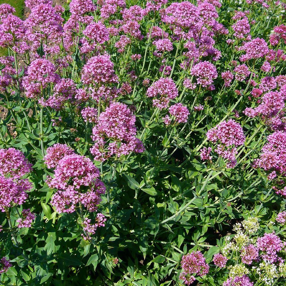 Plantes vivaces centranthus ruber val riane rouge en for Vente plantes vivaces