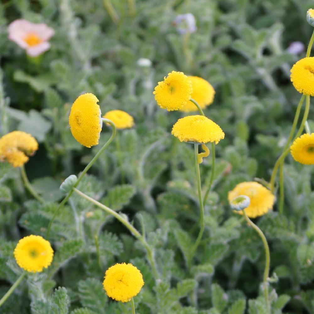 Plantes vivaces cotula paludosa cotule en vente for Vente plantes vivaces
