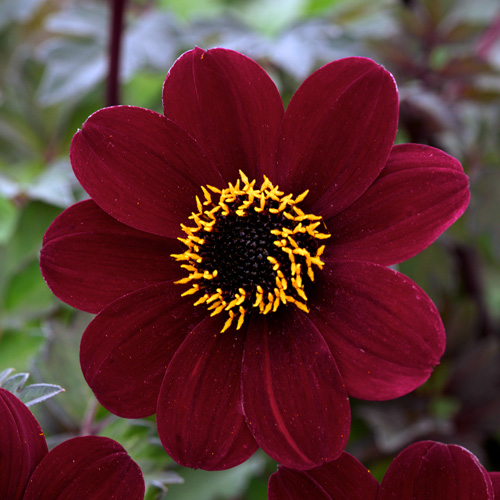 bulbes dahlia 'bishop of auckland' - dahlia à fleur simple