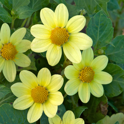 bulbes dahlia 'jaune' - dahlia topmix - pépinière lepage