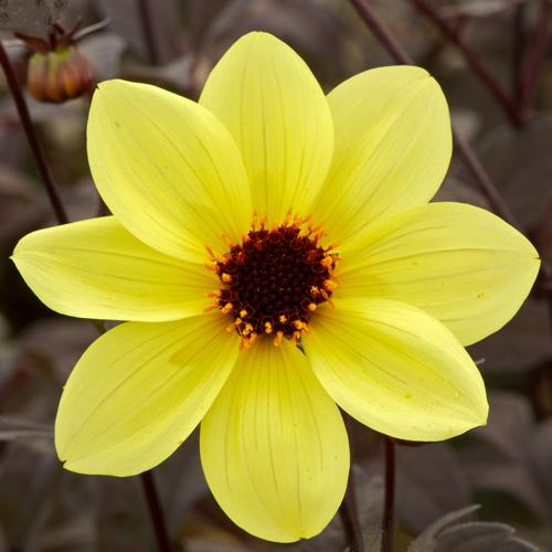 bulbes dahlia 39 knockout 39 dahlia fleur simple en vente p pini re lepage. Black Bedroom Furniture Sets. Home Design Ideas