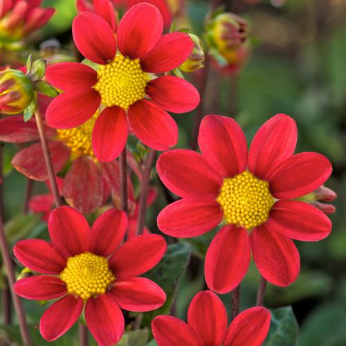 bulbes dahlia 'rouge' - dahlia topmix - pépinière lepage