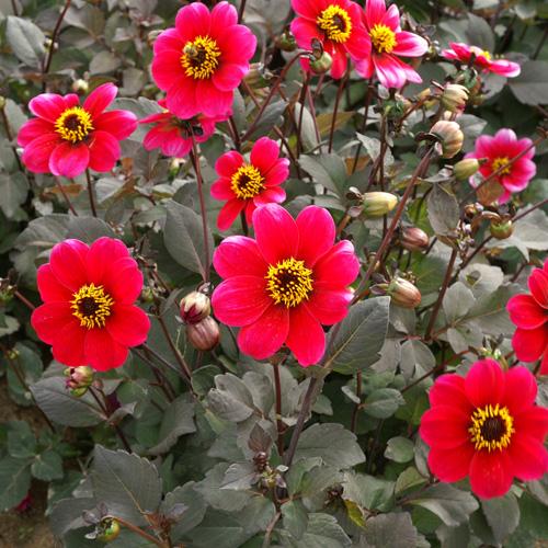 bulbes dahlia 'roxy' - dahlia nain simple - pépinière lepage