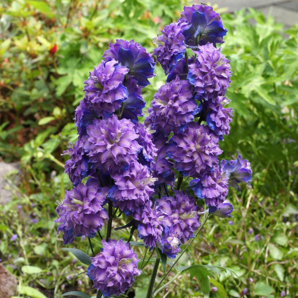 Plantes vivaces delphinium 39 sweet sensation 39 pied d for Vente plantes vivaces