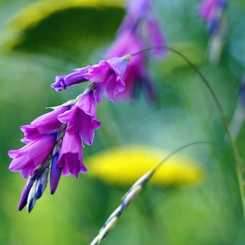 Plantes vivaces dierama pendulum canne p che des anges en vente p pini re lepage - Canne a peche des anges ...