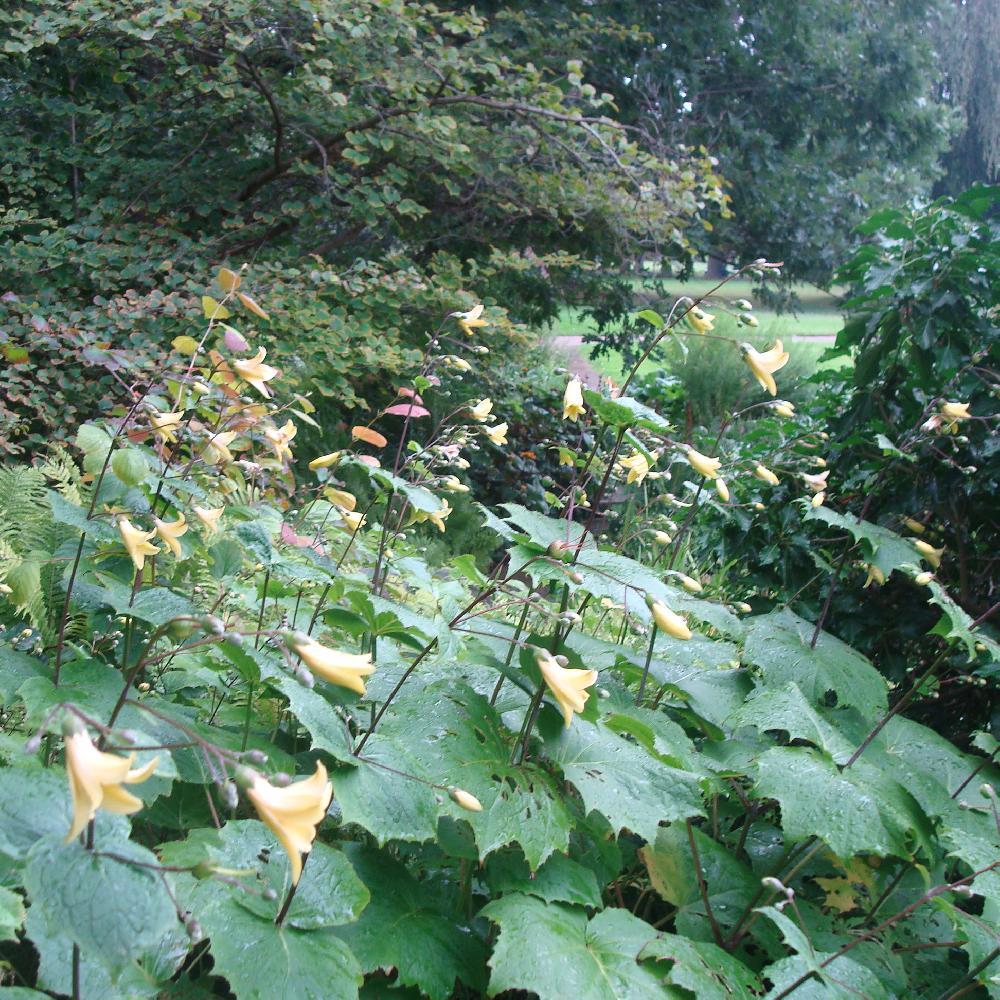 Plantes vivaces kirengeshoma palmata fleur de cire en for Vente plantes vivaces
