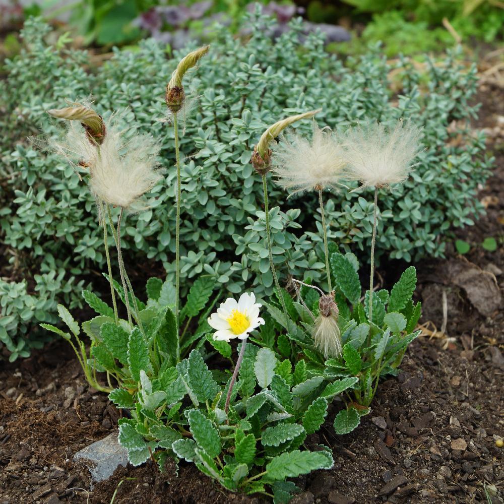 Plantes vivaces dryas suendermannii dryade en vente for Vente plante
